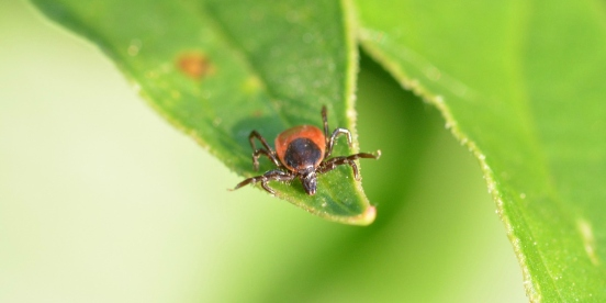tick-borne-diseases-German-English-glossary