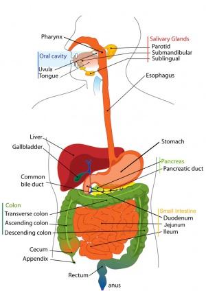 300px-Adult_gastrointestinal_tract_cartoon.jpg
