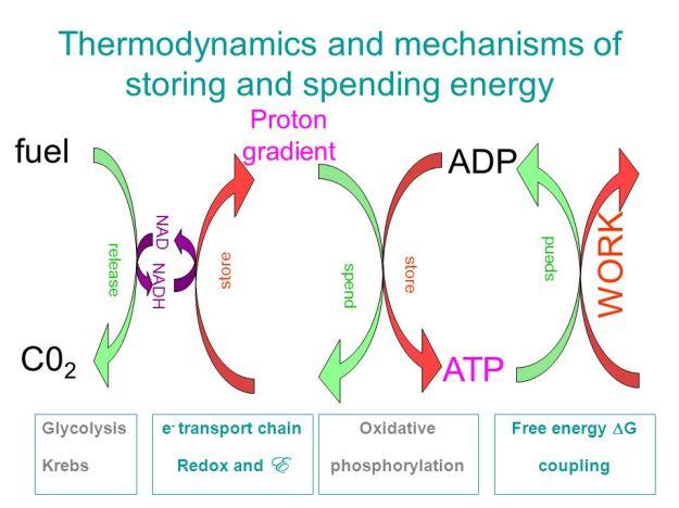 Thermodynamics+and+mechanisms+of+storing+and+spending+energy.jpg